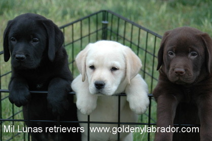 Mil Lunas Cachorros De Golden Y Labrador Retriever En Madrid
